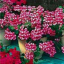 AGROBITS ! Förderung 100pcs / bag Geranie plantas