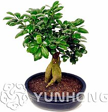 AGROBITS Heiß !!! 50pcs Banyanbaumes Bonsai