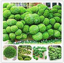 AGROBITS Juniper Ball Bonsai-Baum Bonsai