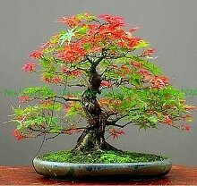 AGROBITS Maple Bonsai Blau Ahorn japanische