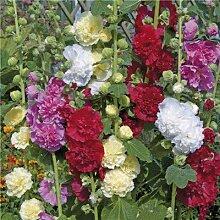 AGROBITS Multi Color Malve Blume Bonsai Alcea