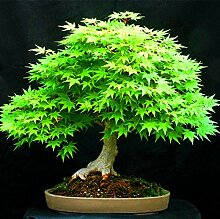 AGROBITS Neue Ankunft! 50 Bonsai blau Ahornbaum