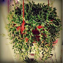 AGROBITS Perle Chlorophytum Perlen Garten Bonsai
