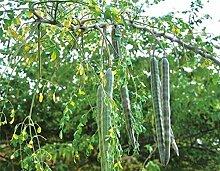 AGROBITS Saat: 100 PC/bag Japan Moringa Bonsai Edi