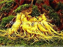 AGROBITS Saat: 100 PC-Ginseng Bonsai, Panax