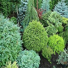 AGROBITS Saat: 20 Stück Japanese Black Pine