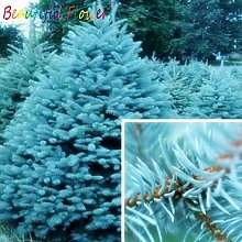 AGROBITS Saat: 50 PC-Baum Bonsai Rare Evergreen