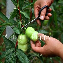 AGROBITS Saat: 50 PC-Ginseng Obst Rare Bonsai, s