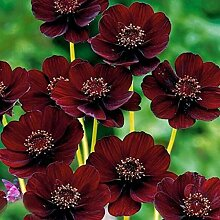 AGROBITS Schokolade Cosmos Blumensamen 50P / Bag