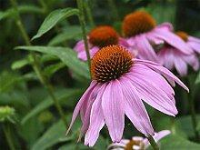AGROBITS Sonnenhut Samen -Echinacea Purpurea-Lockt