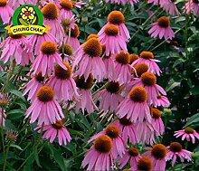 AGROBITS Sonnenhut Samen Herb Echinacea Purpurea