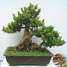 AGROBITS Zierpflanze Fraxinus chinensis Bonsai 10