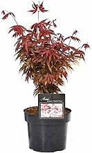 Ahorn palmatum Skeeters broom - roter asiatischer