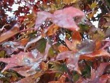 Ahorn, RED JAPANESE oder Bonsai-Baum, 100 Samen!