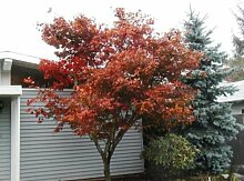 Ahorn, RED JAPANESE oder Bonsai-Baum, 100 SEEDS