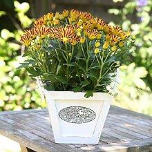 AIMADO Samen-50 Pcs Gelbe Chrysantheme Melodie