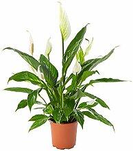 AIRY Einblatt Zimmerpflanze, Spathiphyllum(17 cm