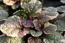 Ajuga reptans 'Burgundy Glow' - 3 Pflanzen