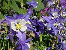 Akelei 'Blue Star' Aquilegia caerulea