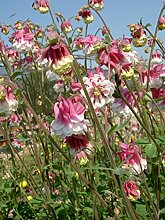 Akelei 'Pink Petticoat' Aquilegia vulgaris