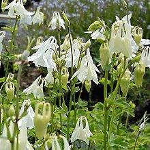 Akelei Alba - Aquilegia vulgaris