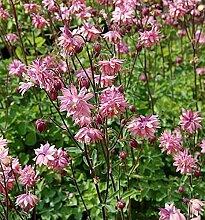 Akelei Rose Barlow - Aquilegia vulgaris