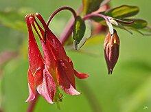 Akelei, WILD RED CANADIAN, mehrjährige Blume, 55