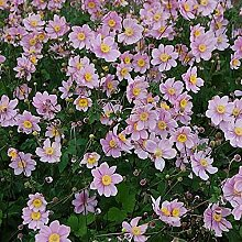 Albadura Anemone Serenade - großer Topf - Anemone