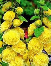 Alcea, Stockrosen, Stockmalve, Hollyhocks Yellow -