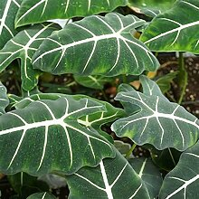 Alocasia zebrina Mehrjährige Laubpflanze Pflanze
