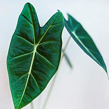 Alocasia zebrina Mehrjährige Pflanze