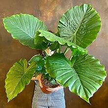 Alocasia zebrina Mehrjährige Pflanze Laubpflanze