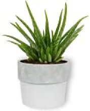 Aloe Vera Clumb - Zierspargel - Zimmerpflanze in