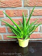 Aloe vera Pflanze,Barbadensis miller Sweet,