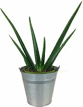 Aloe Vera Pflanze inklusive Zink-Übertopf