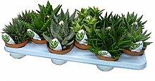 Aloe Vera Pflanzen, verschiedene Sorten im Set,