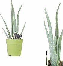 Aloe Vera ,Zimmerpflanze ,Heilpflanze 30cm+/-