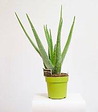 Aloe Vera,Zimmerpflanze,Heilpflanze 45cm+/-