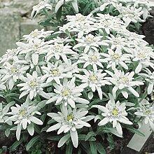 Alpen-Edelweiß - Leontopodium alpinum - weiß blühende, sternförmige Blüten - Steingartenstaude im 9 cm Topf - frisch aus der Gärtnerei - Pflanzen-Kölle Gartenstaude