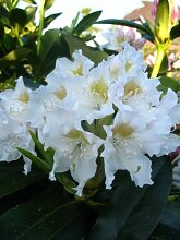Alpenrose Rhododendron Cunningham's White