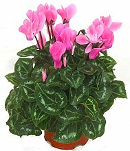 Alpenveilchen rosa - Cyclamen persicum -