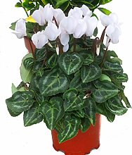 Alpenveilchen weiß - Cyclamen persicum -
