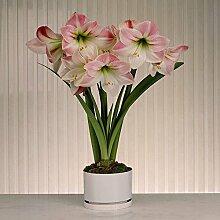 Amaryllis Apple Blossom - 1 blumenzwiebel
