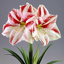 Amaryllis Clown - 1 blumenzwiebel
