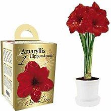 Amaryllis Geschenk-Box Set rot blühende Amaryllis