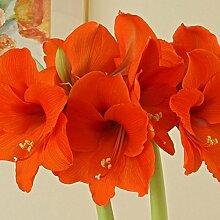 Amaryllis Naranja 34/36-1 blumenzwiebel