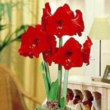 Amaryllis Red Lion - 1 blumenzwiebel