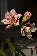 Amaryllis Zwiebel Blumen Im Wohnzimmer