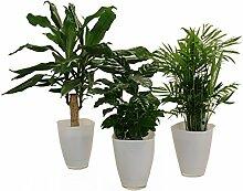 Amazon.de Pflanzenservice Carribean-Set, Dracena fragrans, Kaffee-Pflanze mit Zimmerpalme und Dekotopf, weiß, Zimmerpflanzen, Kübelpflanzen