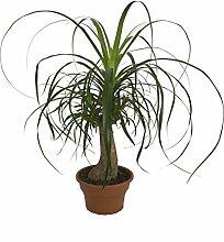 Amazon.de Pflanzenservice Elefantenfuß, Beaucarnea recurvata, 1 Pflanze, 17-19 cm Topf, 40 - 60 cm hoch, Zimmerpflanze, Grün